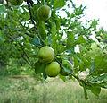 Green apples in Manali in 2009.jpg