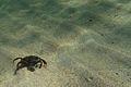 Green shore crab (Carcinus maenas).jpg