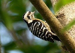 Grey-capped Pygmy Woodpecker Dendrocopos canicapillus IMG 0716 (1).jpg