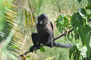 Grey-cheeked mangabey Species of Old World monkey