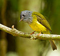 Grey-headed Canary-flycatcher by N.A. Nazeer.jpg
