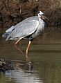 Grey Heron, Ardea cinerea, at Pilanesberg National Park, Northwest Province, South Africa (27954203213).jpg