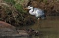 Grey Heron, Ardea cinerea, at Pilanesberg National Park, Northwest Province, South Africa (28462959392).jpg