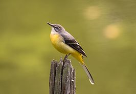 Grey wagtail at Tennōji Park in Osaka, November 2016 - 890.jpg