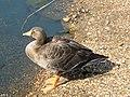 Greylag goose, pond.jpg