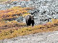 Grizzly! (48681125547).jpg