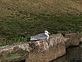 Gull resting on the rock along the pond - 2.jpg