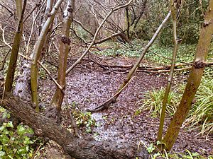 Gunnersbury Triangle - The wet woodland 'Mangrove Swamp' with Willows