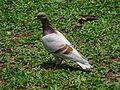 HK CWB 維多利亞公園 Victoria Park 鴿子 Pigeon n green ground May 2016 DSC (3).jpg