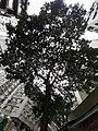 HK SYP 西環 Sai Ying Pun 水街 5 Water Street tree crown September 2020 SS2.jpg