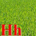 H herbe.jpg