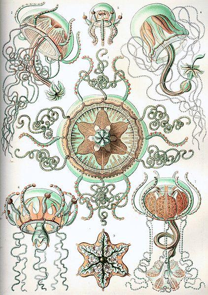 File:Haeckel Trachomedusae.jpg