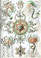 Haeckel Trachomedusae.jpg