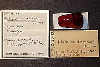 Haidomyrmex cerberus BMNHP20182 02.jpg