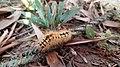 Hairy beautiful Caterpillar, Goalpara, Assam.jpg