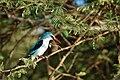 Halcyon senegalensis -Chobe River front, Botswana-8.jpg