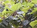 Haldinia cordifolia-3-mundanthurai-tirunelveli-India.jpg