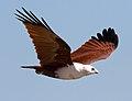 Haliastur indus -Karratha, Pilbara, Western Australia, Australia -flying-8 (11).jpg