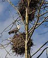 Hallhaigur - Grey Heron - Ardea Cinerea.jpg