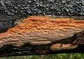 Hapalopilus aurantiacus (6486238241).jpg