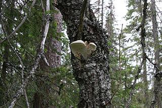 <i>Haploporus</i> (fungus) genus of fungi