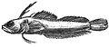 Haptoclinus apectolophus holotype, ANSP 121251 - ZooKeys-306-071-g003-top.jpeg