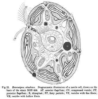Phycodnaviridae - Sketch of Heterosigma akashiwo cell-internal anatomy