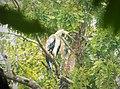 Harpia harpyja - Harpy Eagle. - Flickr - gailhampshire (1).jpg