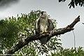 Harpy Eagle immature - Darién - Panama (48439609816).jpg
