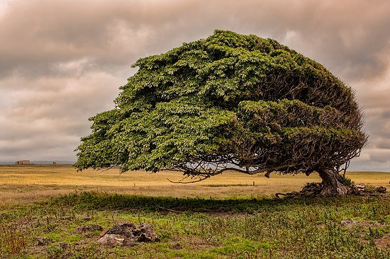A wind-blown tree in Ka Lae, Hawaii, by Nothereeither.