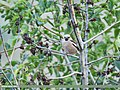 Hawfinch (Coccothraustes coccothraustes) (38741419545).jpg