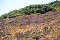 Heathery hillside - geograph.org.uk - 1596646.jpg