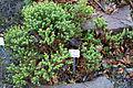 Hebe pauciramosa - Botanischer Garten, Dresden, Germany - DSC08400.JPG