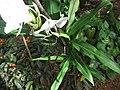 Hedychium coronarium - കല്യാണസൗഗന്ധികം 01.JPG
