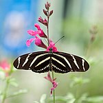 Heliconius charithonia Kaldari 1 cropped.jpg