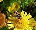 Helophilus pendulus female (36813255056).jpg
