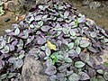 Hemigraphis colorata 65.jpg
