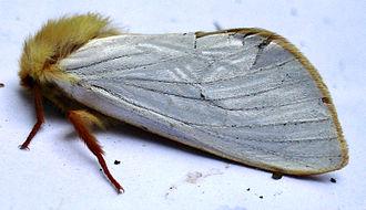 Ghost moth - Image: Hepialus humuli m