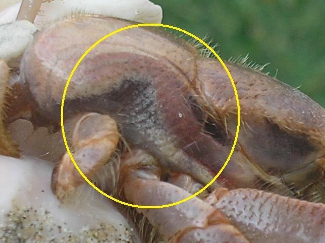 Hermit Crab Gills