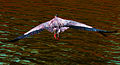 Heron in Flight (7160505357).jpg