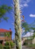 Heteropogon contortus spikelets1 (8233648182).jpg