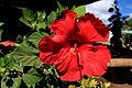 Hibiscus - Hanga Roa, Easter Island (5955837603).jpg