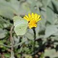 Hieracium tomentosum-IMG 5620.jpg