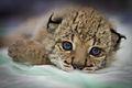 High resolution photo of Iberian Lynx cub.jpg