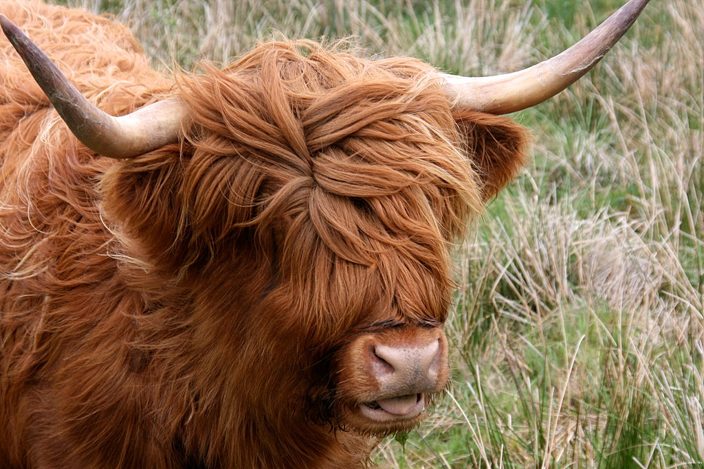 Highland cow à l'île d'Arran en Ecosse - Photo de  Mike Peel / mikepeel.net