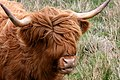 Highland cow, Isle of Arran.jpg