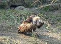 Himalayan Griffon Vulture. Gyps himalayensis - Flickr - gailhampshire.jpg