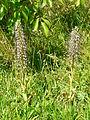 Himantoglossum hircinum Montagnac-sur-Auvignon.JPG