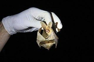 Thomass big-eared brown bat Species of bat