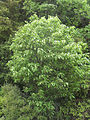 Hoheria-glabrata-tree.jpg